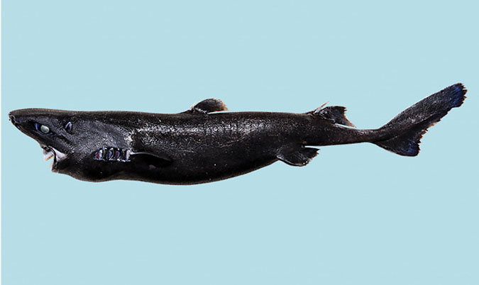 Cá mập đen