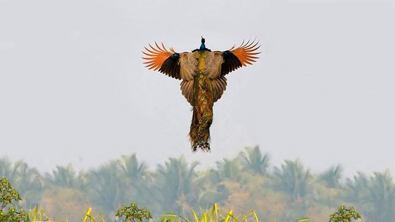 Chim Công bay