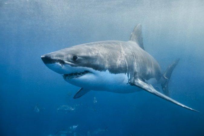 cá mập, ngư lôi sống