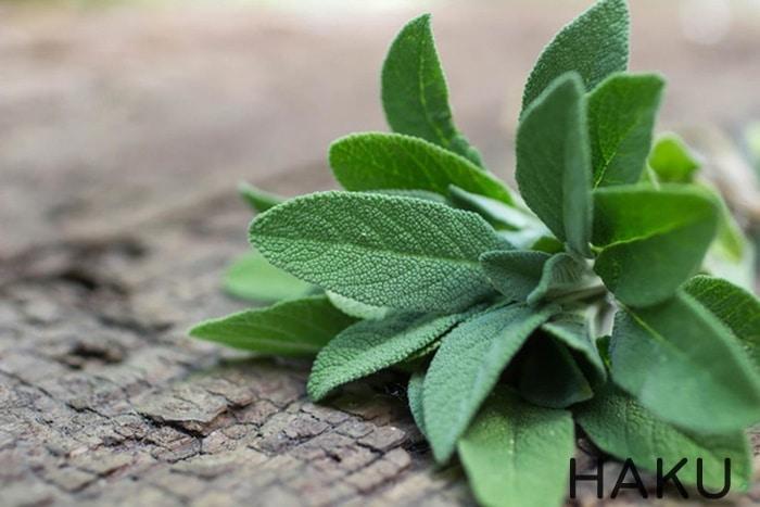 Lá cây xô thơm giúp trị viêm nhiễm