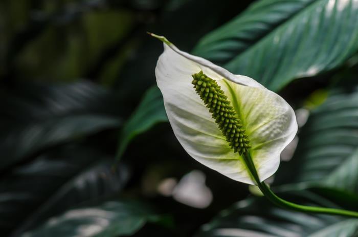 Hoa huệ bình